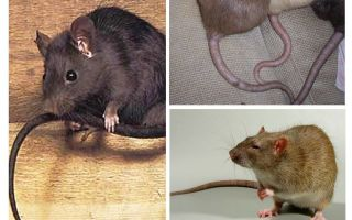 Mengapa ekor tikus