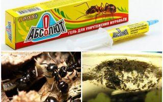 Absolut dari semut