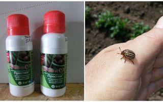 Alat Prestige dari kumbang kentang Colorado