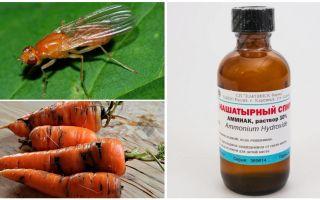 Berjuang dengan lalat lobak dengan ammonia