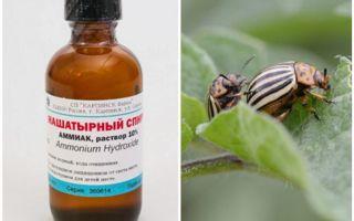 Ammonia menentang kumbang kentang Colorado
