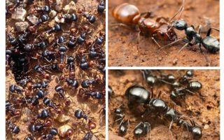 Tahap perkembangan semut
