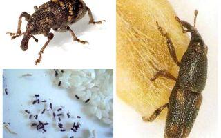 Kumbang beras - perosak bijirin bijirin