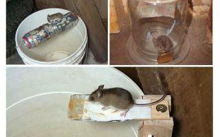 Bagaimana untuk membuat perangkap tikus dengan tangan anda sendiri