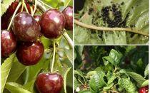 Bagaimana untuk menghilangkan aphids pada ceri dan ceri