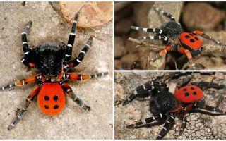 Penerangan dan gambar labah-labah di Crimea