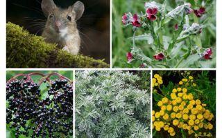 Rumput dari tikus