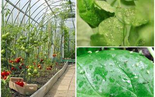 Bagaimana menangani aphids di rumah hijau