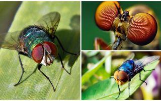 Berapa banyak bingkai sesaat yang dapat dilihat oleh lalat dan berapa banyak mata yang ada