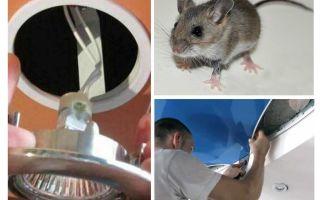 Bagaimana untuk menghilangkan tikus dalam siling regangan