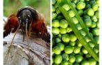 Berjuang dengan kacang musim bunga Medvedka