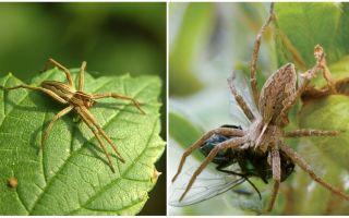 Berapa banyak labah-labah biasa tinggal di apartmen dan alam semula jadi