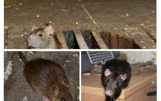 Bagaimana untuk menangkap tikus di dalam rumah