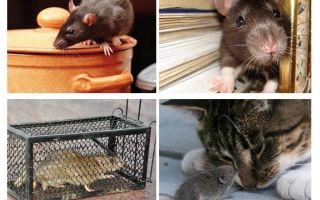 Bagaimana untuk menghilangkan tikus di rumah persendirian