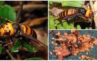 Hornets Besar: Giant Hornets Asia dan Hitam