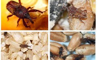 Bagaimana menangani kumbang di dapur