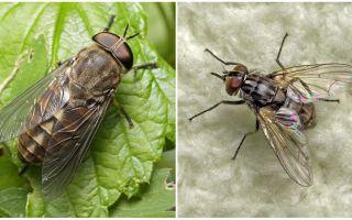 Huraian dan gambar gigitan lalat