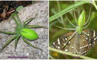 Green Spiders di Rusia
