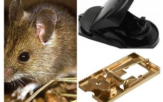 Bagaimana untuk meletakkan perangkap tikus