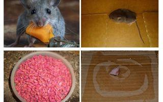 Bagaimana untuk mendapatkan tikus dari garaj
