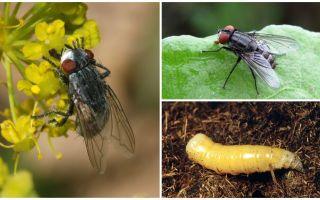 Keterangan dan foto seekor lalat daging (fana)