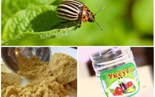 Mustard dan cuka terhadap kumbang kentang Colorado: perkadaran dan ulasan