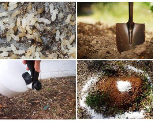 Bagaimana untuk mendapatkan semut daripada ubat kebun rakyat