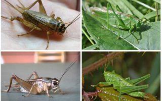 Perbezaan kriket dan belalang