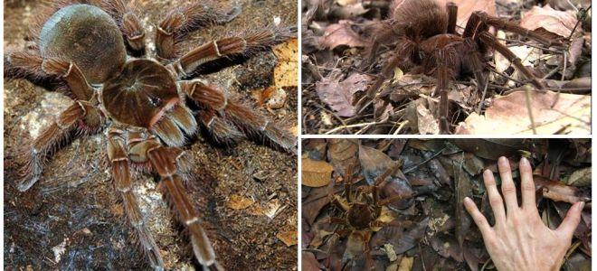 Penerangan dan foto labah-labah burung goliath