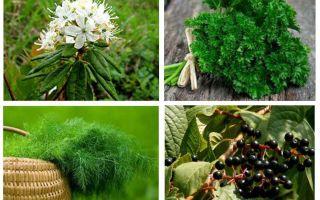 Ubat-ubatan rakyat yang berkesan untuk kutu dan nits