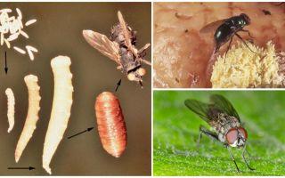 Apa yang berlaku jika anda makan telur atau terbang larva