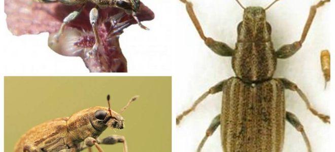 Tuber weevil - perosak kekacang