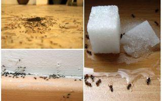 Bagaimana untuk membuang semut daripada sebuah apartmen di rumah