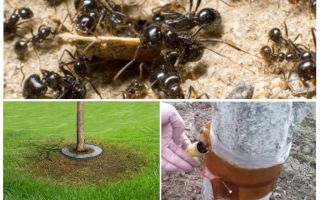 Perangkap semut di dalam pokok dengan tangan mereka sendiri