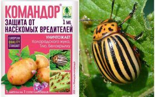 Bermakna Komander dari kumbang kentang Colorado