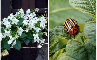 Tembakau berbau melawan kumbang kentang Colorado