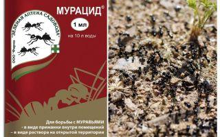 Semut muracid
