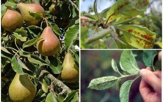 Bagaimana untuk menghilangkan aphids pada pir