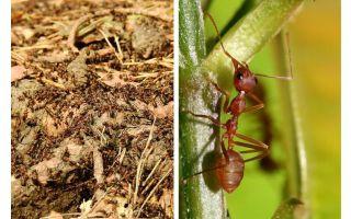 Apakah semut berguna?