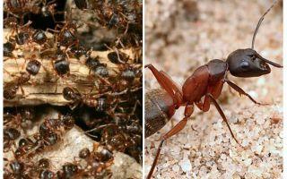 Semut merah hutan