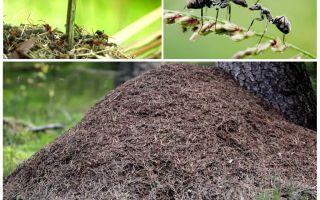 Di sebelah mana semut pokok akan membina semut