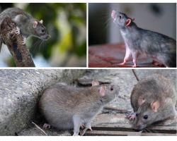 Berapa lama tikus tinggal?