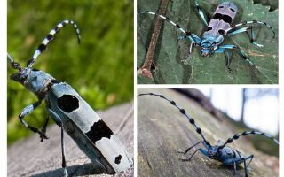 Kumbang kumbang Alpine