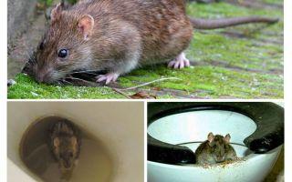 Bolehkah seekor tikus keluar dari tandas