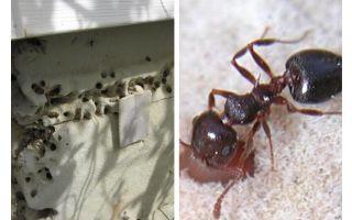 Semut hidup dalam penebat