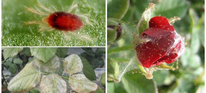 Cara memproses mawar dari labah-labah labah-labah