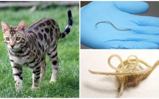 Gejala dan rawatan ascariasis dalam kucing