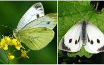Penerangan dan gambar ulat dan kupu-kupu kubis