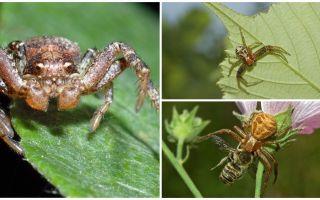 Penerangan dan gambar labah-labah ketam (bokomoda bukan isometrik)
