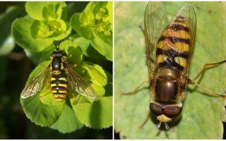 Huraian dan gambar lalat berjalur menyerupai tawon